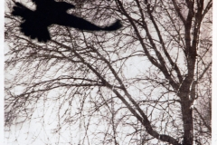 Rabe - Lebensbaum